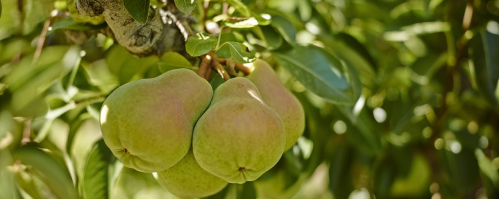 PSA: California Pears are Here!